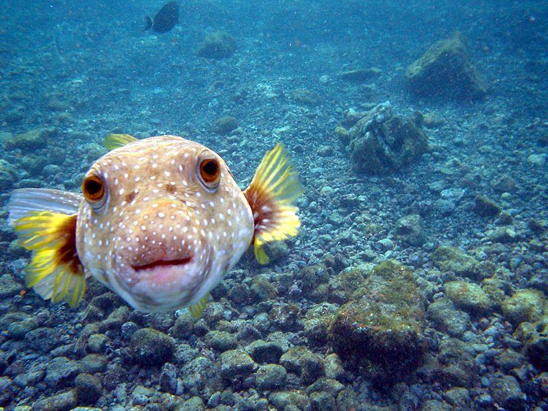 When Pufferfish Lose Their Teeth