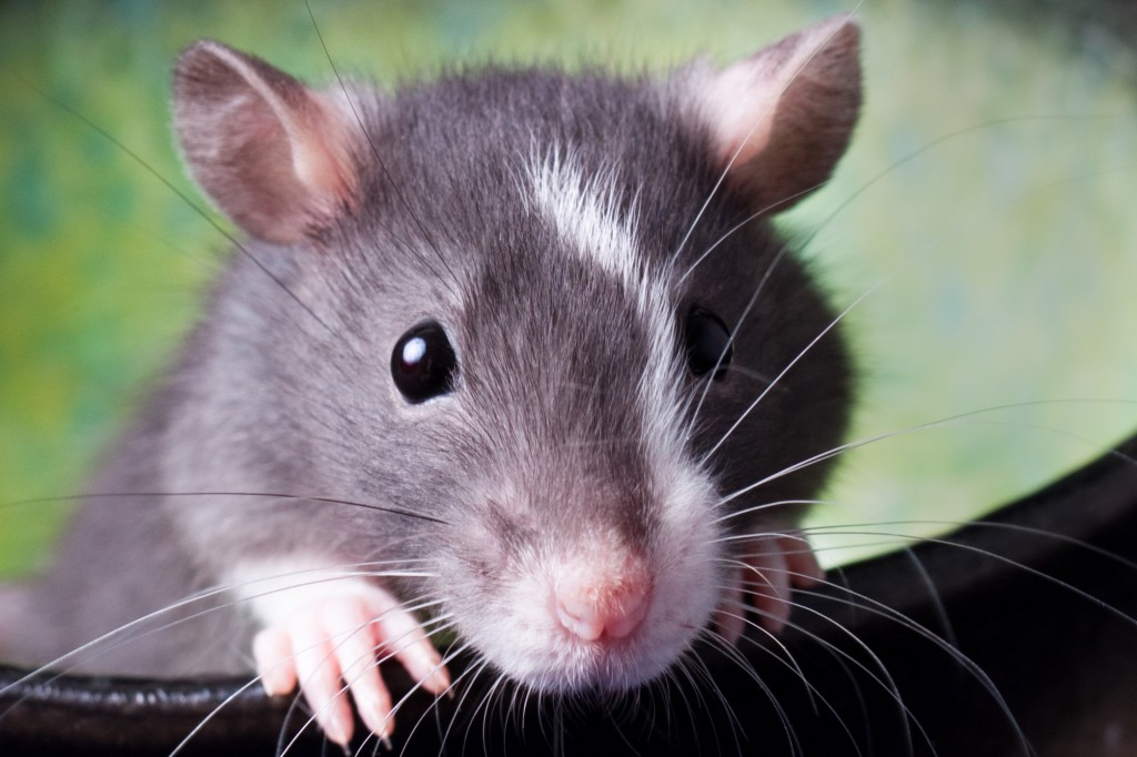 Study: Lasers, Rats and the Future of Dentistry